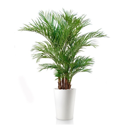 Planta semi-artificiala Ila, Areca Lux Green - 200 cm
