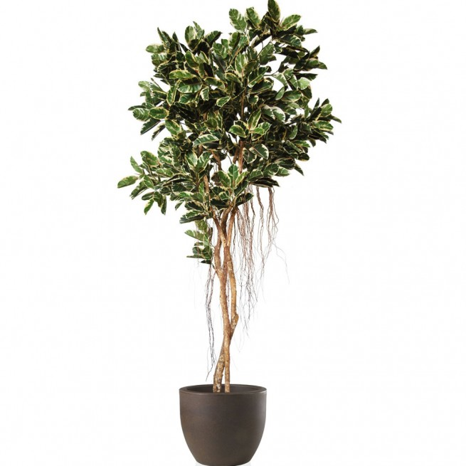 Planta semi-artificiala Ila, Ficus Elastica Tree Variegated - 350 cm