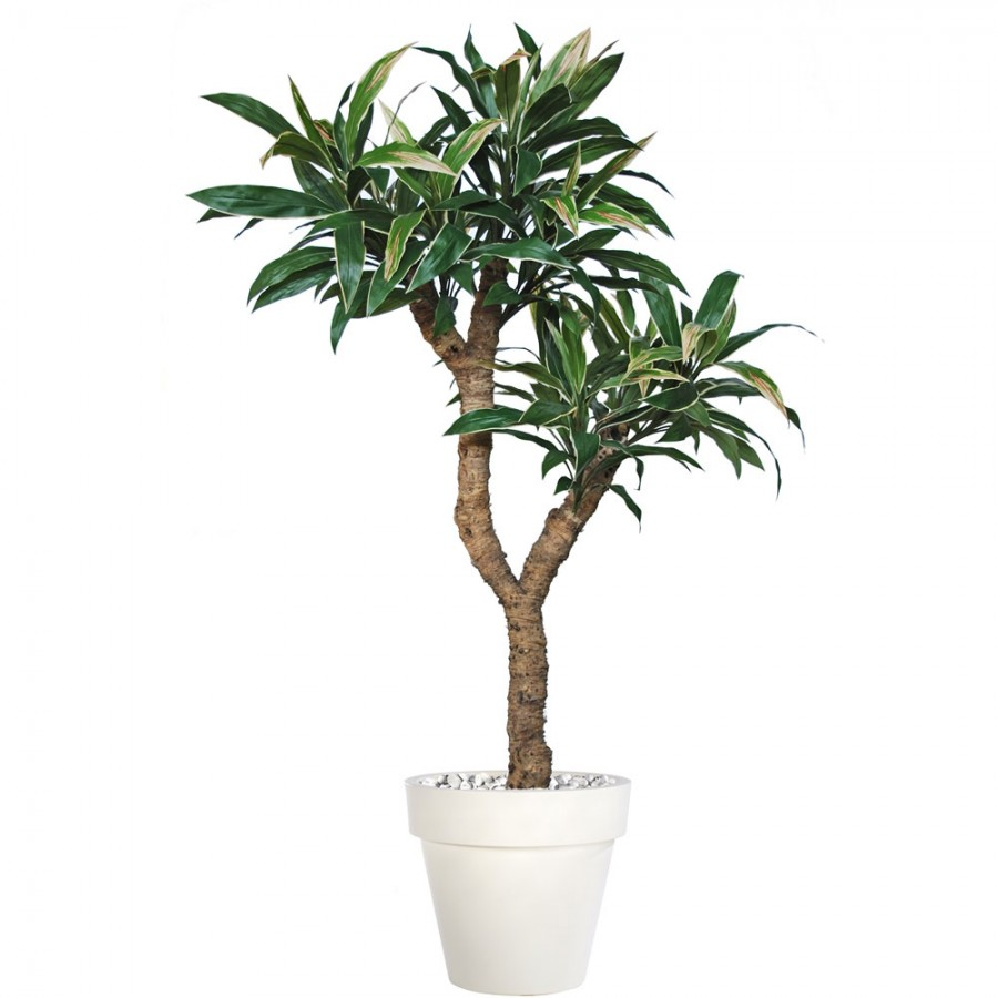 Planta semi-artificiala Ila, Cordyline Drago Variegated - 220 cm
