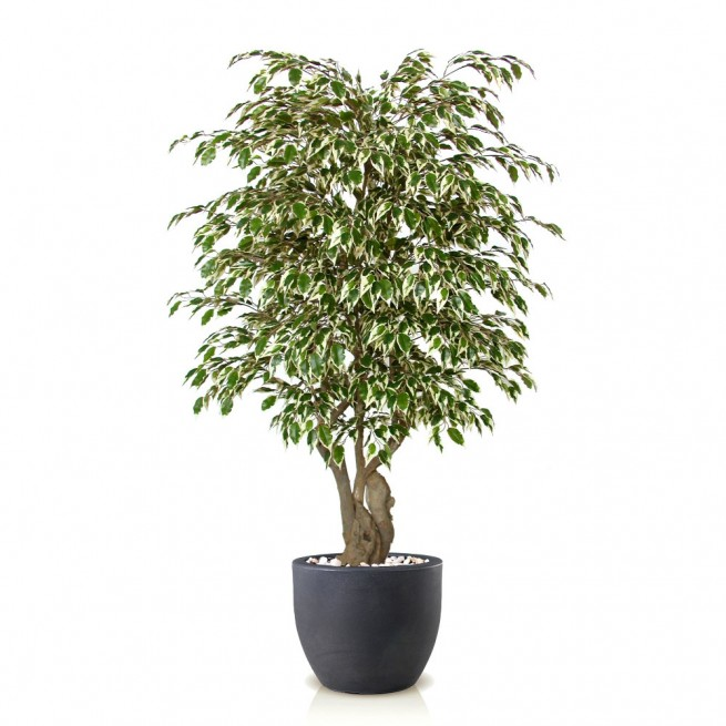 Planta semi-artificiala Ila, Ficus Golden Malabar Variegated - 150 cm