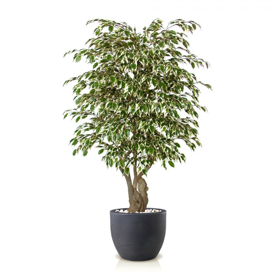 Planta semi-artificiala Ila, Ficus Golden Malabar Variegated - 150 cm